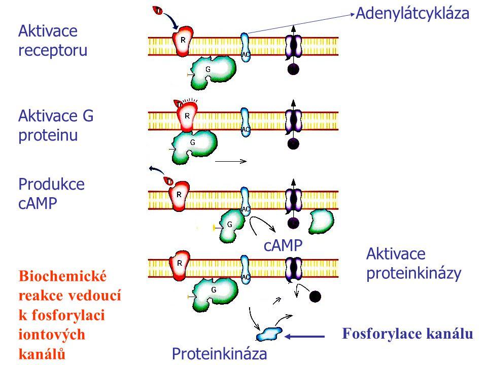 GDP GTP ATP cAmp P P Biochemické reakce vedoucí k fosforylaci iontových kanálů Fosforylace kanálu Adenylátcykláza cAMP Aktivace receptoru Aktivace G p