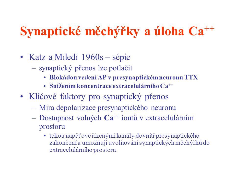 Synaptické měchýřky a úloha Ca ++ Katz a Miledi 1960s – sépie –synaptický přenos lze potlačit Blokádou vedení AP v presynaptickém neuronu TTX Snížením