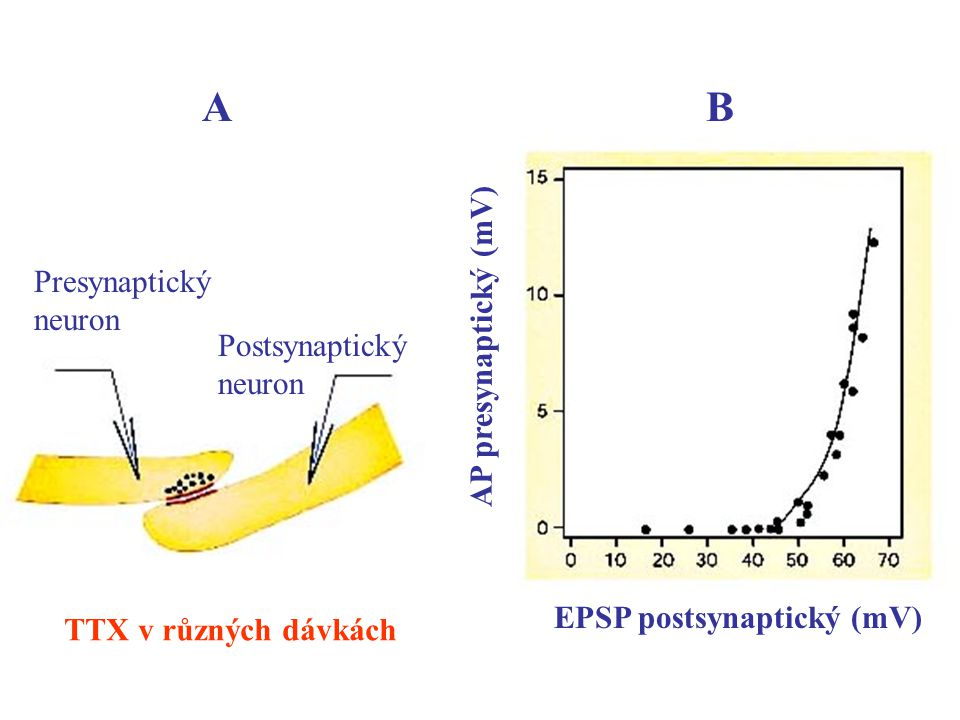 AB Presynaptický neuron Postsynaptický neuron AP presynaptický (mV) EPSP postsynaptický (mV) TTX v různých dávkách