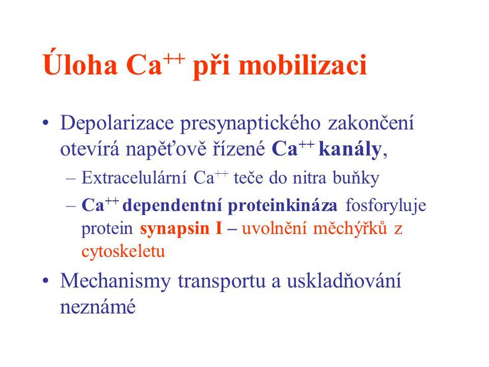 Úloha Ca ++ při mobilizaci Depolarizace presynaptického zakončení otevírá napěťově řízené Ca ++ kanály, –Extracelulární Ca ++ teče do nitra buňky –Ca