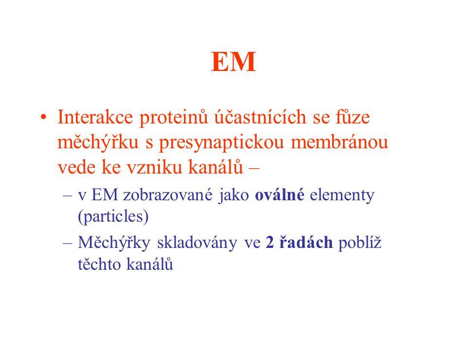 EM Interakce proteinů účastnících se fůze měchýřku s presynaptickou membránou vede ke vzniku kanálů – –v EM zobrazované jako oválné elementy (particle