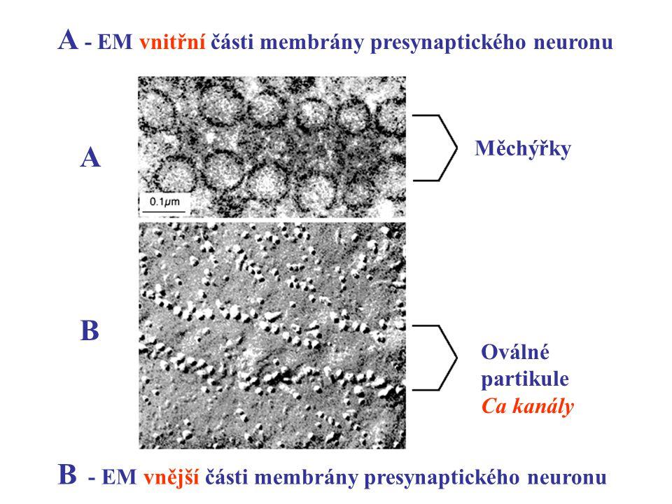 Měchýřky Oválné partikule Ca kanály A - EM vnitřní části membrány presynaptického neuronu B - EM vnější části membrány presynaptického neuronu A B
