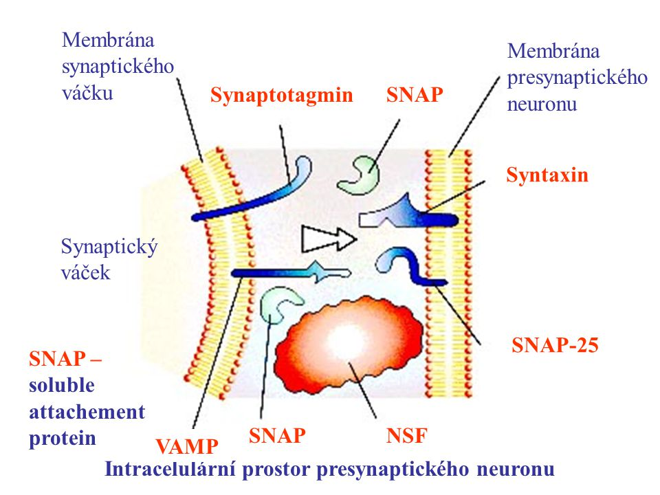 Synaptický váček Membrána presynaptického neuronu Membrána synaptického váčku Intracelulární prostor presynaptického neuronu SynaptotagminSNAP SNAP –