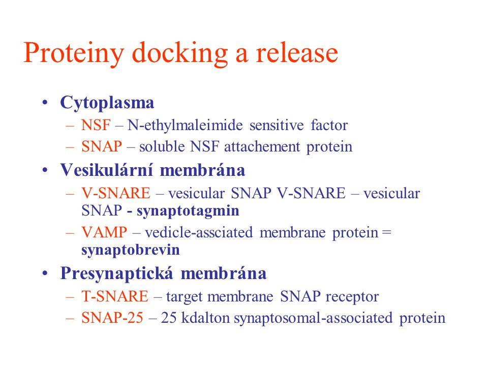 Proteiny docking a release Cytoplasma –NSF – N-ethylmaleimide sensitive factor –SNAP – soluble NSF attachement protein Vesikulární membrána –V-SNARE –