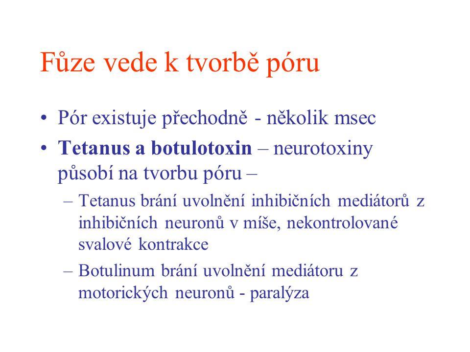 Fůze vede k tvorbě póru Pór existuje přechodně - několik msec Tetanus a botulotoxin – neurotoxiny působí na tvorbu póru – –Tetanus brání uvolnění inhi