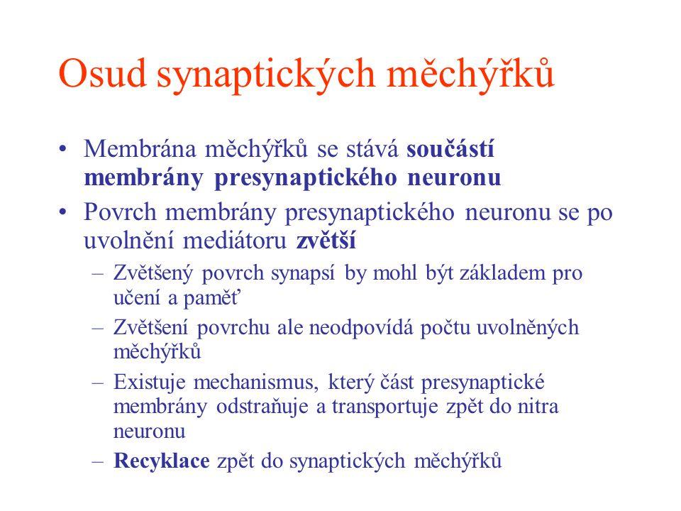 Osud synaptických měchýřků Membrána měchýřků se stává součástí membrány presynaptického neuronu Povrch membrány presynaptického neuronu se po uvolnění