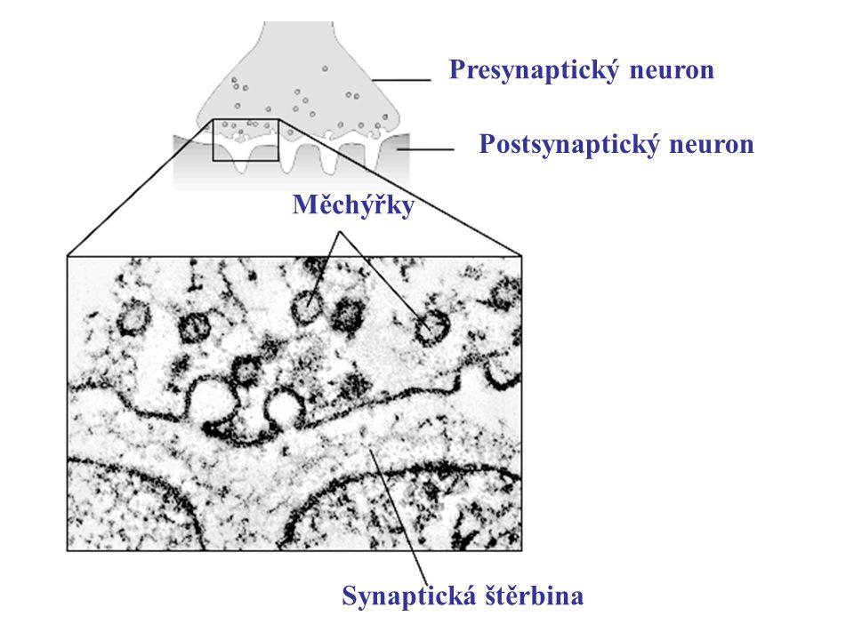 Synaptická štěrbina Měchýřky Presynaptický neuron Postsynaptický neuron