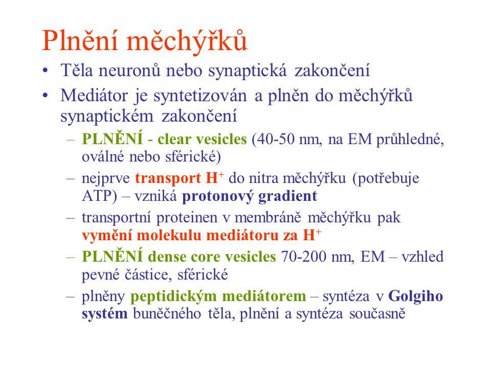 Plnění měchýřků Těla neuronů nebo synaptická zakončení Mediátor je syntetizován a plněn do měchýřků synaptickém zakončení –PLNĚNÍ - clear vesicles (40