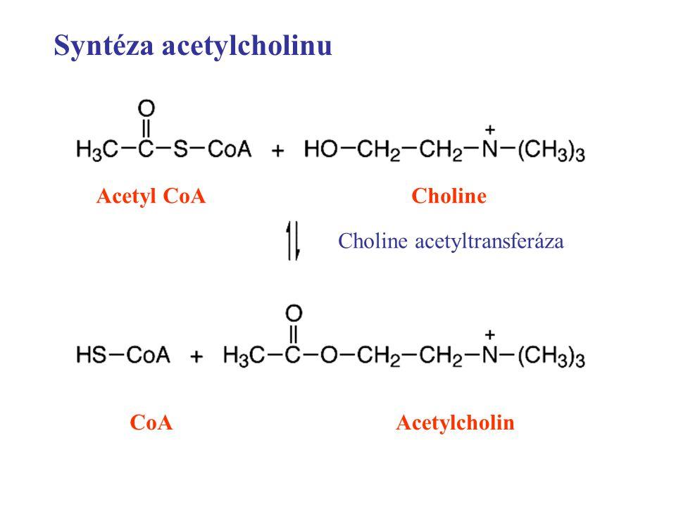 Syntéza acetylcholinu Acetyl CoACholine Choline acetyltransferáza CoAAcetylcholin