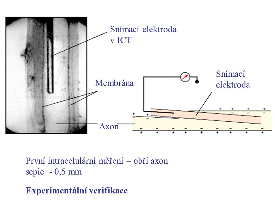 Snímací elektroda v ICT Membrána Axon Snímací elektroda První intracelulární měření – obří axon sepie - 0,5 mm Experimentální verifikace