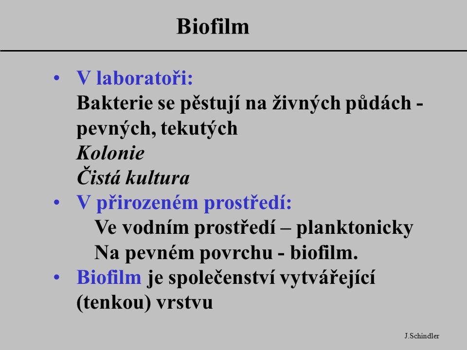 Biofilm J.Schindler V laboratoři: Bakterie se pěstují na živných půdách - pevných, tekutých Kolonie Čistá kultura V přirozeném prostředí: Ve vodním prostředí – planktonicky Na pevném povrchu - biofilm.