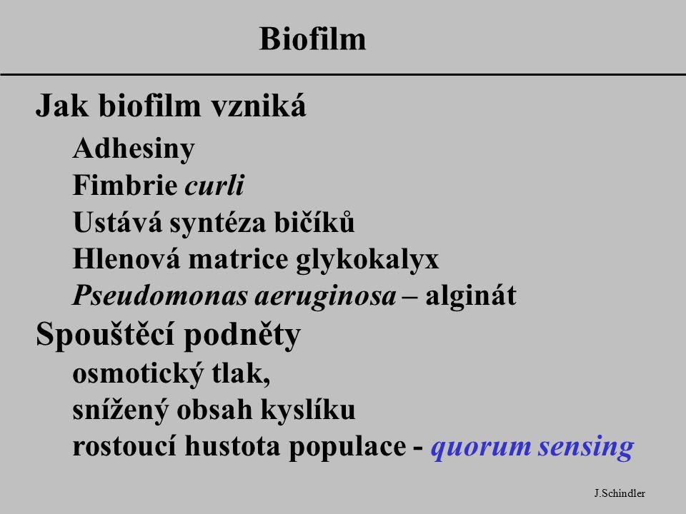 Biofilm J.Schindler Jak biofilm vzniká Adhesiny Fimbrie curli Ustává syntéza bičíků Hlenová matrice glykokalyx Pseudomonas aeruginosa – alginát Spouštěcí podněty osmotický tlak, snížený obsah kyslíku rostoucí hustota populace - quorum sensing