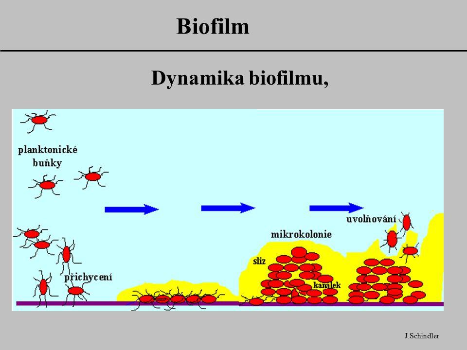 Biofilm J.Schindler Dynamika biofilmu,