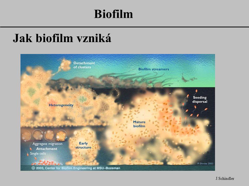Biofilm J.Schindler Jak biofilm vzniká