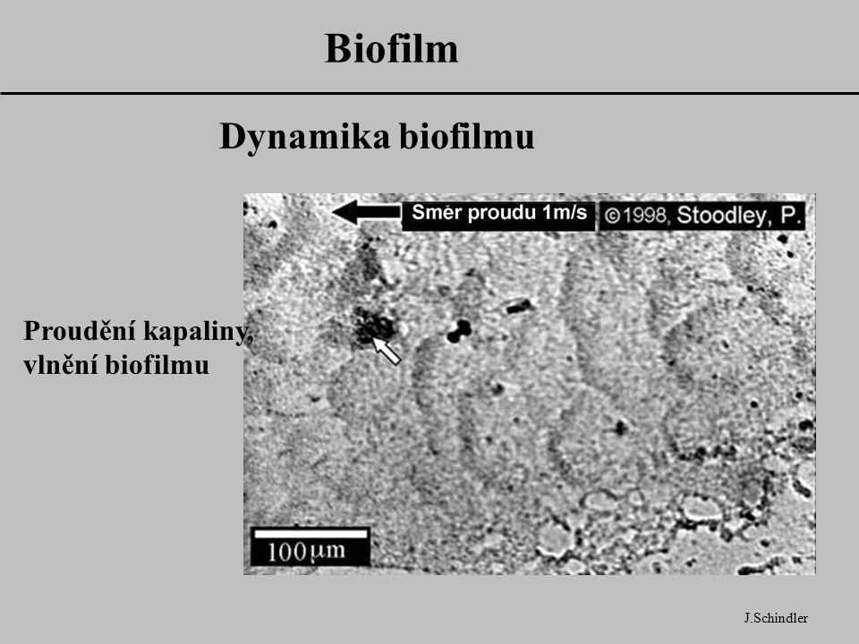 Biofilm J.Schindler Dynamika biofilmu Proudění kapaliny, vlnění biofilmu