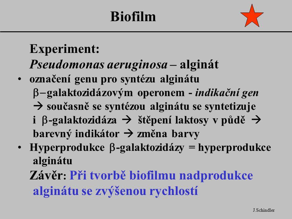 Biofilm J.Schindler Experiment: Pseudomonas aeruginosa – alginát označení genu pro syntézu alginátu  galaktozidázovým operonem - indikační gen  současně se syntézou alginátu se syntetizuje i  -galaktozidáza  štěpení laktosy v půdě  barevný indikátor  změna barvy Hyperprodukce  -galaktozidázy = hyperprodukce alginátu Závěr : Při tvorbě biofilmu nadprodukce alginátu se zvýšenou rychlostí