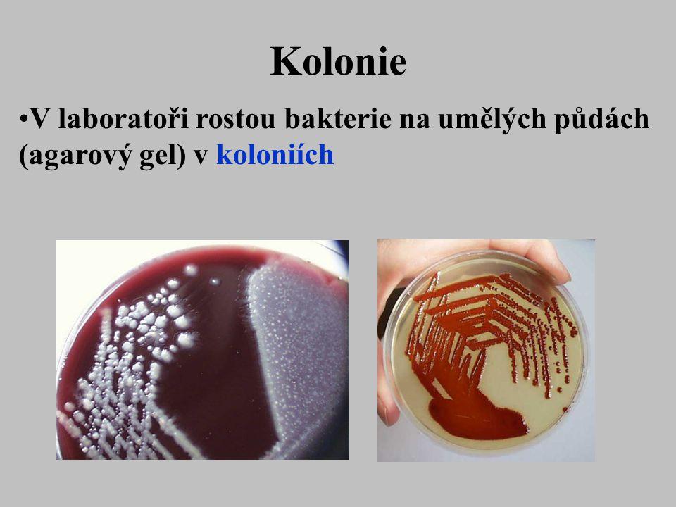 Kolonie V laboratoři rostou bakterie na umělých půdách (agarový gel) v koloniích