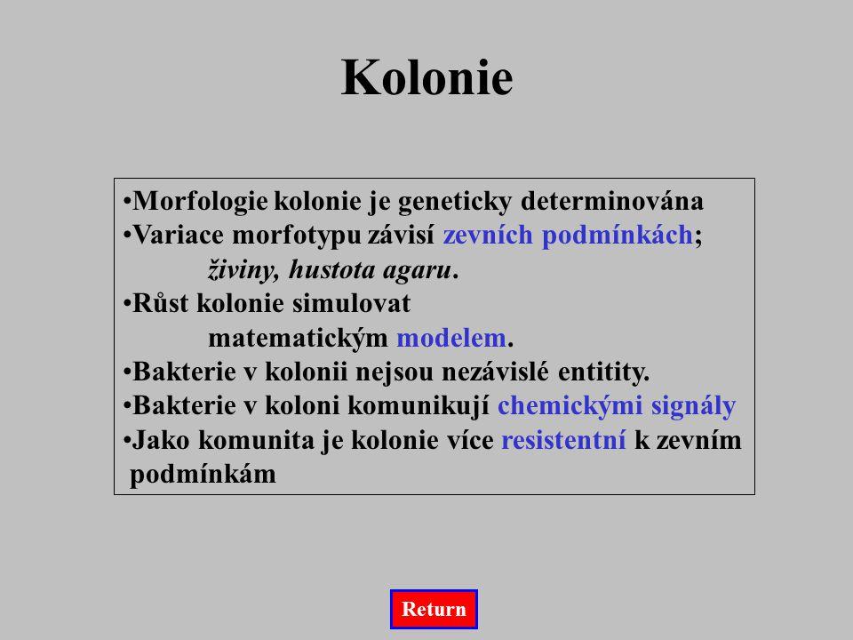 Kolonie Morfologie kolonie je geneticky determinována Variace morfotypu závisí zevních podmínkách; živiny, hustota agaru. Růst kolonie simulovat matem
