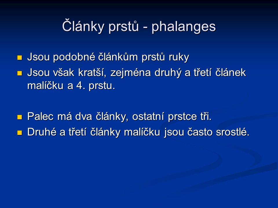 Články prstů - phalanges Jsou podobné článkům prstů ruky Jsou podobné článkům prstů ruky Jsou však kratší, zejména druhý a třetí článek malíčku a 4. p