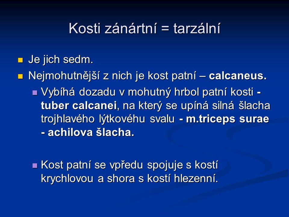 Kosti zánártní = tarzální Je jich sedm. Je jich sedm. Nejmohutnější z nich je kost patní – calcaneus. Nejmohutnější z nich je kost patní – calcaneus.