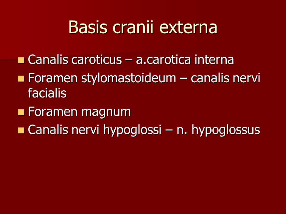 Basis cranii externa Canalis caroticus – a.carotica interna Canalis caroticus – a.carotica interna Foramen stylomastoideum – canalis nervi facialis Fo