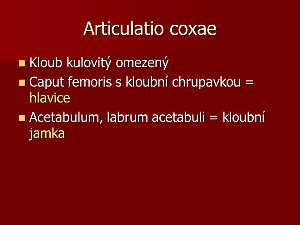 Articulatio coxae Kloub kulovitý omezený Kloub kulovitý omezený Caput femoris s kloubní chrupavkou = hlavice Caput femoris s kloubní chrupavkou = hlav