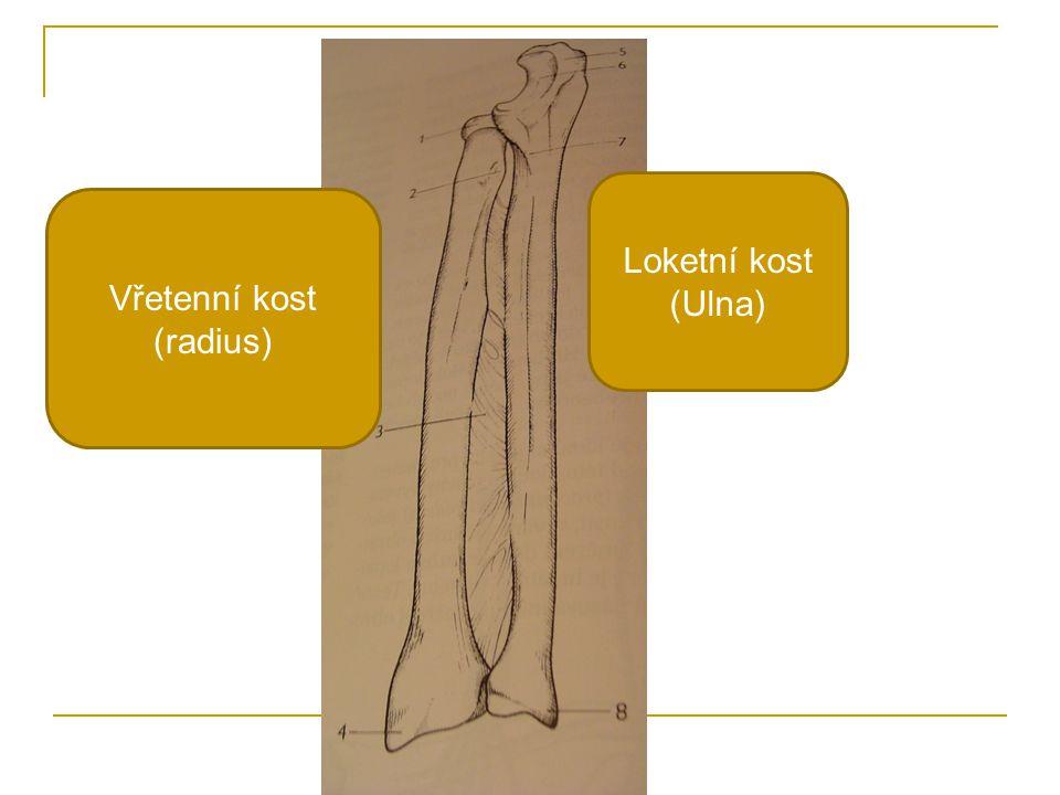 Loketní kost (Ulna) Vřetenní kost (radius)