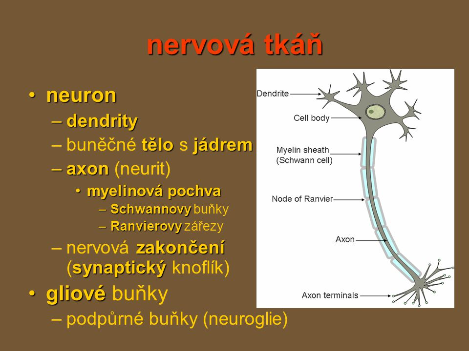 nervová tkáň neuronneuron –dendrity tělo jádrem –buněčné tělo s jádrem –axon –axon (neurit) myelinová pochvamyelinová pochva –Schwannovy –Schwannovy buňky –Ranvierovy –Ranvierovy zářezy zakončení synaptický –nervová zakončení (synaptický knoflík) gliovégliové buňky –podpůrné buňky (neuroglie)
