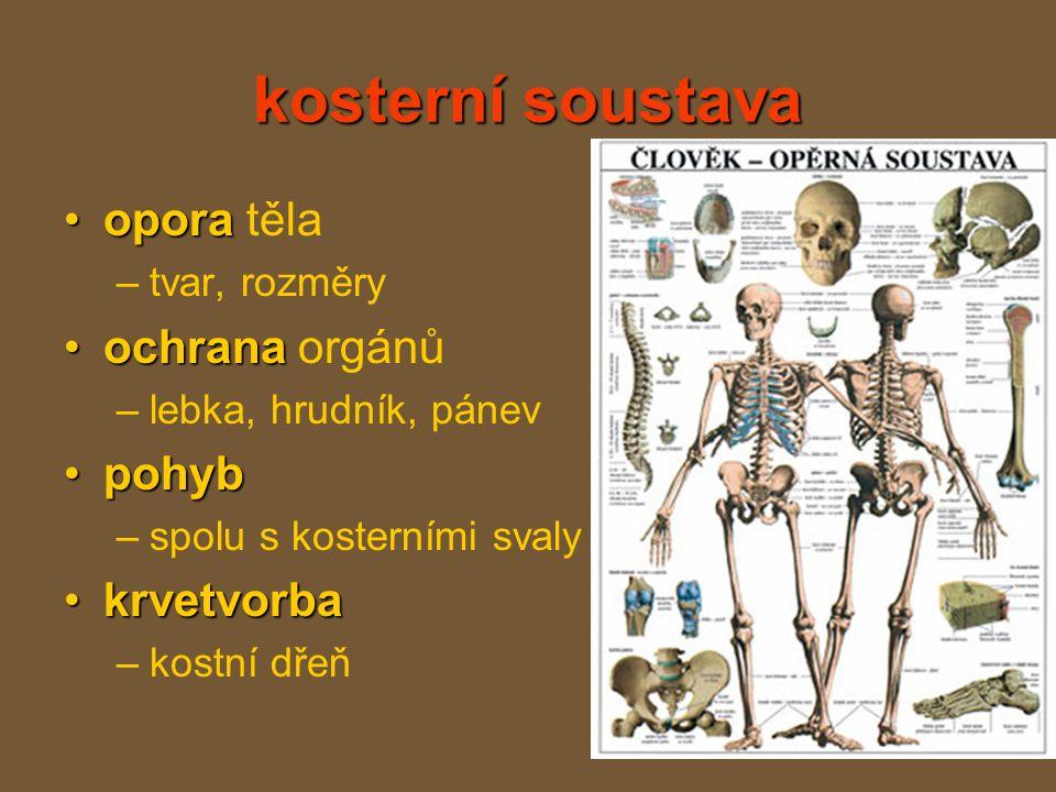 kosterní soustava oporaopora těla –tvar, rozměry ochranaochrana orgánů –lebka, hrudník, pánev pohybpohyb –spolu s kosterními svaly krvetvorbakrvetvorba –kostní dřeň