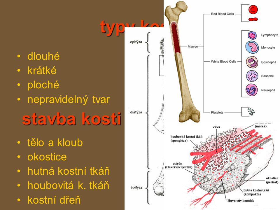 typy kostí dlouhé krátké ploché nepravidelný tvar tělo a kloub okostice hutná kostní tkáň houbovitá k.