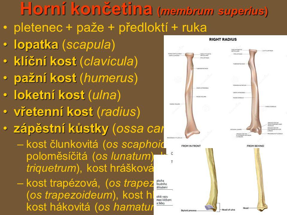 Horní končetina (membrum superius) pletenec + paže + předloktí + ruka lopatkalopatka (scapula) klíční kostklíční kost (clavicula) pažní kostpažní kost (humerus) loketní kostloketní kost (ulna) vřetenní kostvřetenní kost (radius) zápěstní kůstkyzápěstní kůstky (ossa carpi) –kost člunkovitá (os scaphoideum), kost poloměsíčitá (os lunatum), kost trojhranná (os triquetrum), kost hrášková (os pisiforme) –kost trapézová, (os trapezium), kost trapézovitá (os trapezoideum), kost hlavatá, (os capitatum), kost hákovitá (os hamatum)