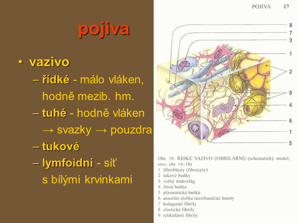 pojiva chrupavkachrupavka chondrocyty –buňky = chondrocyty –↑ kolagenu –↑ kolagenu → pevná, tuší –povrch kostí v kloubech, spojení k., hrtan, ušní boltec