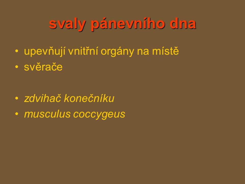 svaly pánevního dna upevňují vnitřní orgány na místě svěrače zdvihač konečníku musculus coccygeus