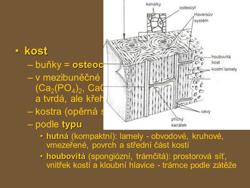 pojiva kostkost osteocyty –buňky = osteocyty minerální látky kolagenní –v mezibuněčné hmotě hlavně minerální látky (Ca 2 (PO 4 ) 2, CaCO 3 ), kolagenní vlákna → tuhá a tvrdá, ale křehká –kostra (opěrná soustava) typu –podle typu hutnáhutná (kompaktní): lamely - obvodové, kruhové, vmezeřené, povrch a střední část kostí houbovitáhoubovitá (spongiózní, trámčitá): prostorová síť, vnitřek kostí a kloubní hlavice - trámce podle zátěže