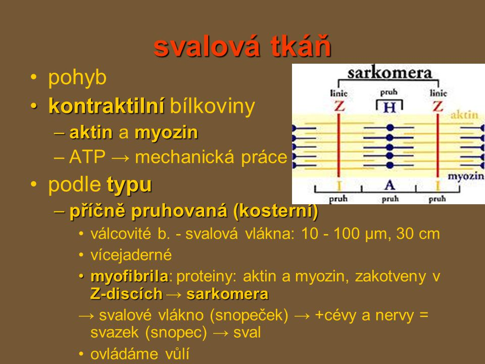 svalová tkáň pohyb kontraktilníkontraktilní bílkoviny –aktinmyozin –aktin a myozin –ATP → mechanická práce typupodle typu –příčně pruhovaná (kosterní) válcovité b.