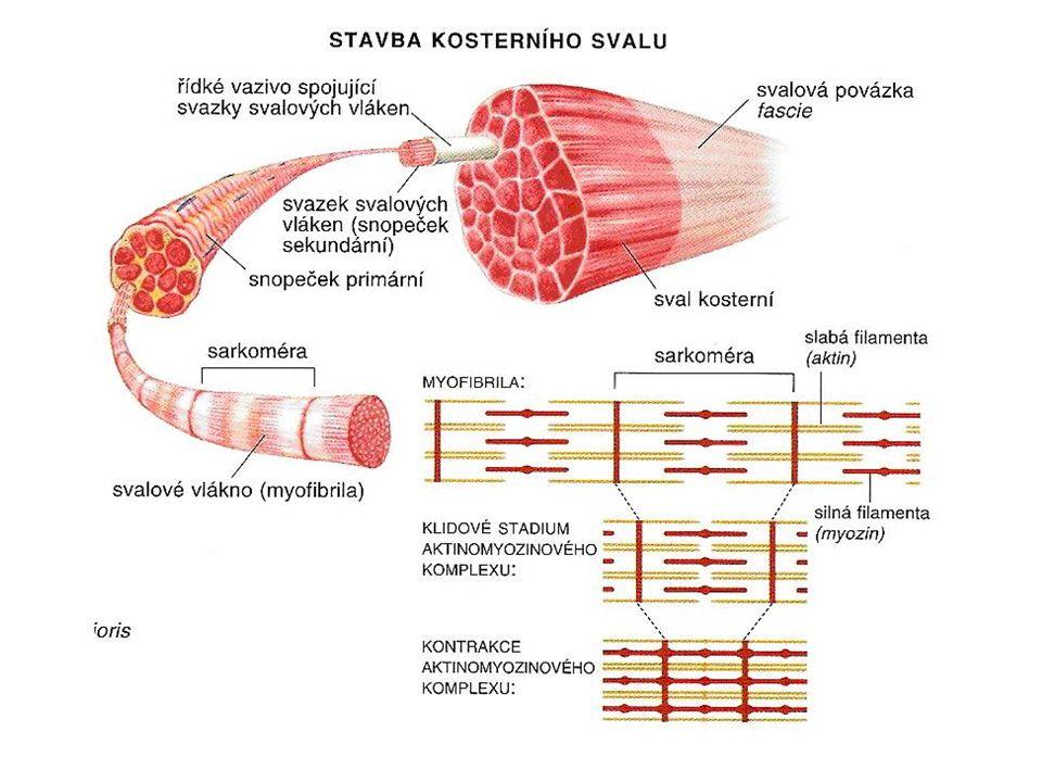 svaly hlavy okohybné žvýkací - přes čelistní kloub –spánkový –zevní žvýkací –vnitřní a zevní křídlový mimické - úpon na lebku a do kůže –kruhový ústní –kruhový oční –čelní –tvářový (trubačský) –smíchový (lícní) –zdvihače víček, nosních křídel, horního rtu, stahovač dolního rtu, …