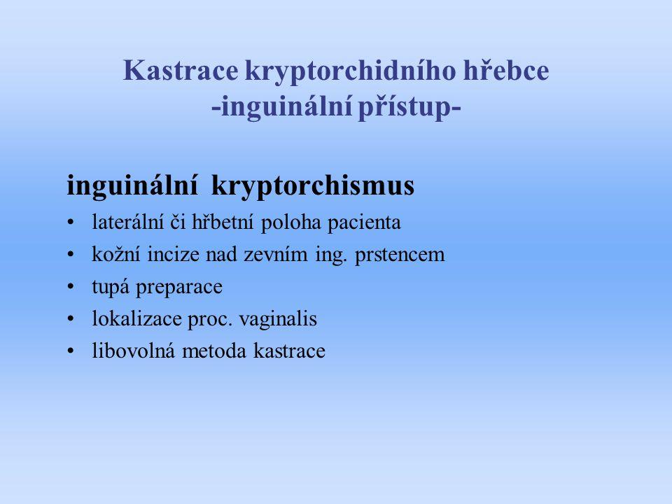 Kastrace kryptorchidního hřebce -inguinální přístup- inguinální kryptorchismus laterální či hřbetní poloha pacienta kožní incize nad zevním ing. prste