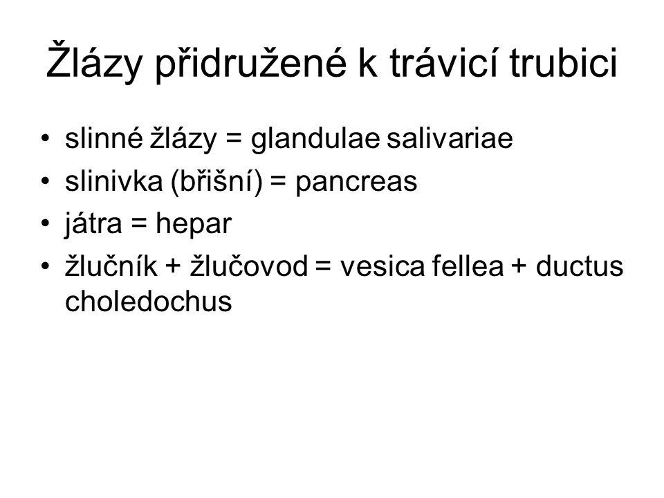 Žlázy přidružené k trávicí trubici slinné žlázy = glandulae salivariae slinivka (břišní) = pancreas játra = hepar žlučník + žlučovod = vesica fellea +