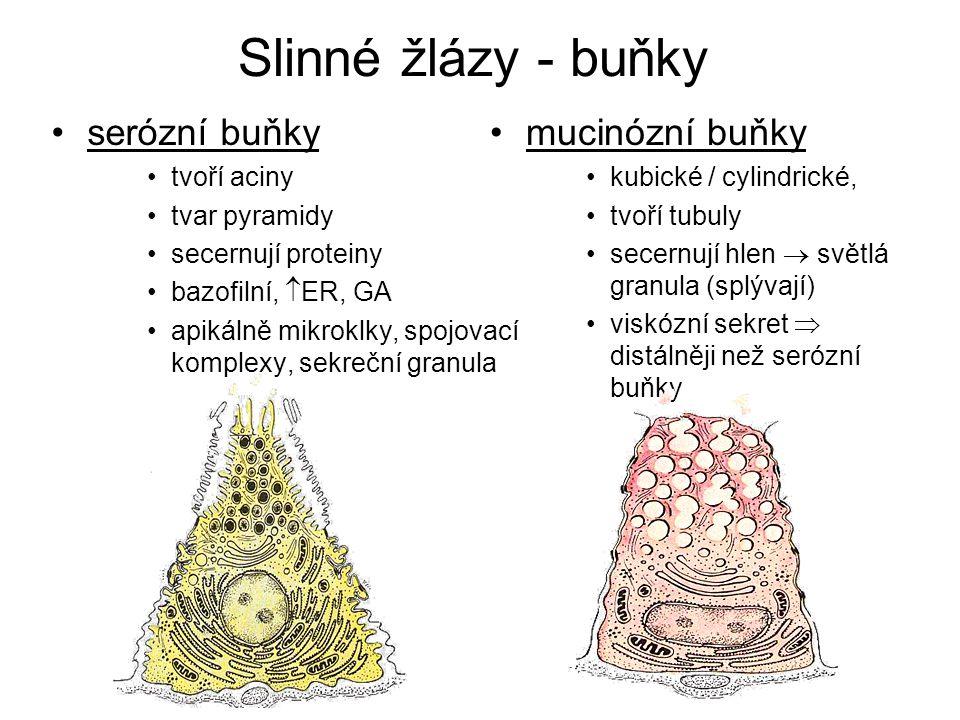 Slinné žlázy - buňky serózní buňky tvoří aciny tvar pyramidy secernují proteiny bazofilní,  ER, GA apikálně mikroklky, spojovací komplexy, sekreční g