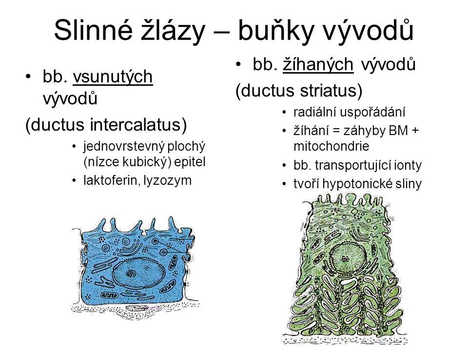 Slinné žlázy – buňky vývodů bb. vsunutých vývodů (ductus intercalatus) jednovrstevný plochý (nízce kubický) epitel laktoferin, lyzozym bb. žíhaných vý