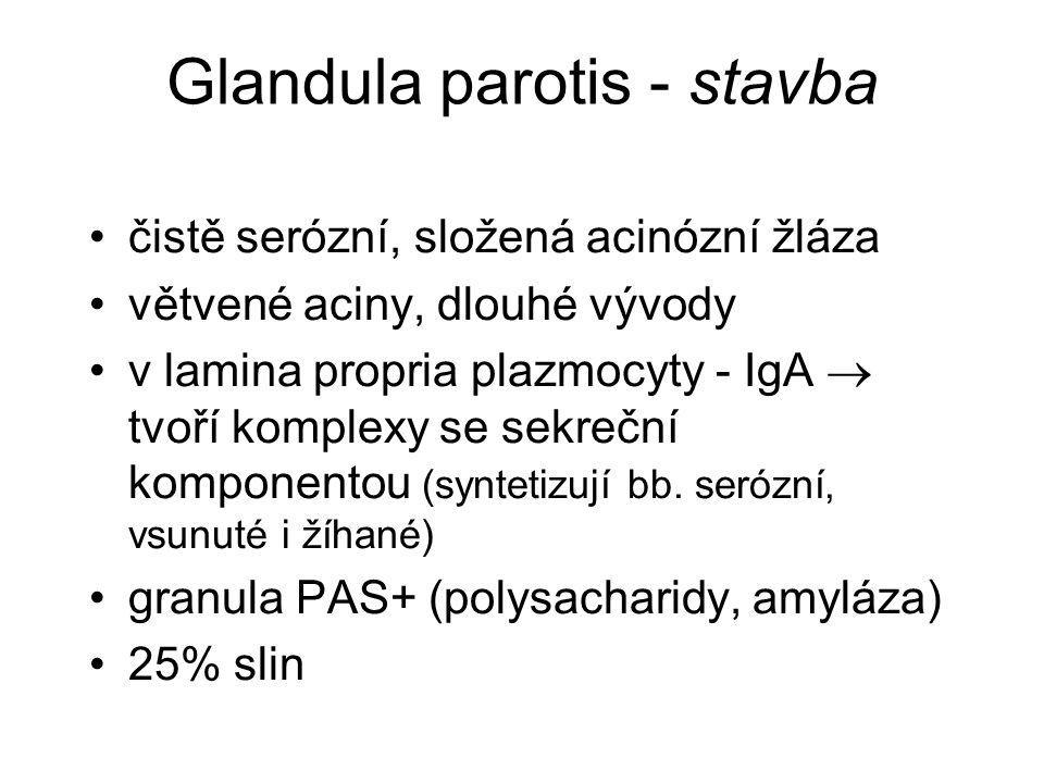 Glandula parotis - stavba čistě serózní, složená acinózní žláza větvené aciny, dlouhé vývody v lamina propria plazmocyty - IgA  tvoří komplexy se sek