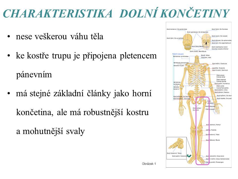 CHARAKTERISTIKA DOLNÍ KONČETINY nese veškerou váhu těla ke kostře trupu je připojena pletencem pánevním má stejné základní články jako horní končetina