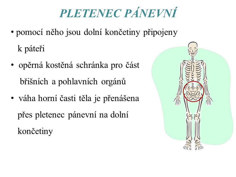PLETENEC PÁNEVNÍ pomocí něho jsou dolní končetiny připojeny k páteři opěrná kostěná schránka pro část břišních a pohlavních orgánů váha horní časti tě