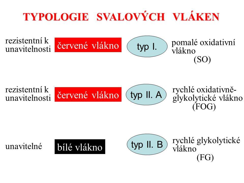 TYPOLOGIE SVALOVÝCH VLÁKEN červené vlákno bílé vlákno typ I. typ II. A typ II. B pomalé oxidativní vlákno (SO) rychlé oxidativně- glykolytické vlákno