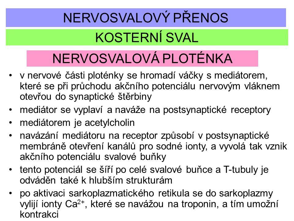 NERVOSVALOVÝ PŘENOS KOSTERNÍ SVAL NERVOSVALOVÁ PLOTÉNKA v nervové části ploténky se hromadí váčky s mediátorem, které se při průchodu akčního potenciá