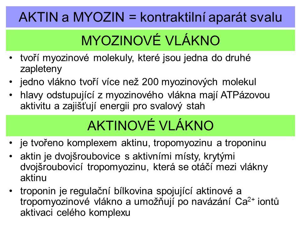 AKTIN a MYOZIN = kontraktilní aparát svalu MYOZINOVÉ VLÁKNO tvoří myozinové molekuly, které jsou jedna do druhé zapleteny jedno vlákno tvoří více než