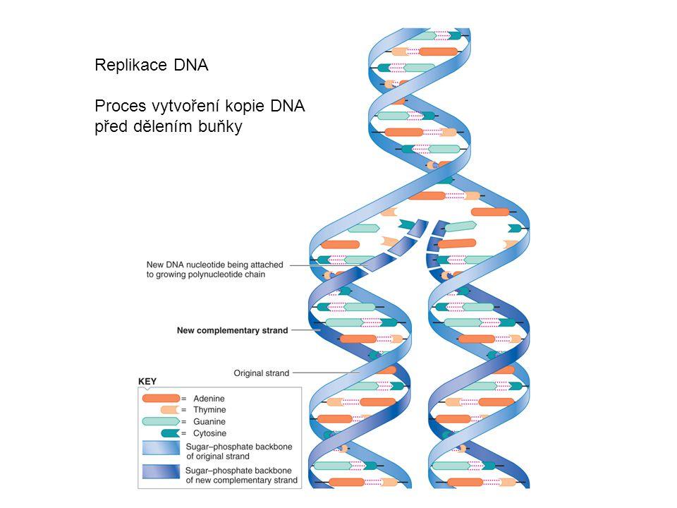 Replikace DNA Proces vytvoření kopie DNA před dělením buňky