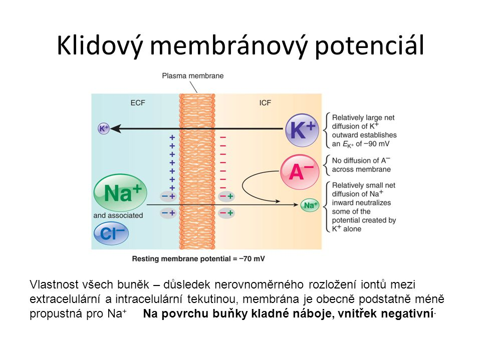 Klidový membránový potenciál Vlastnost všech buněk – důsledek nerovnoměrného rozložení iontů mezi extracelulární a intracelulární tekutinou, membrána