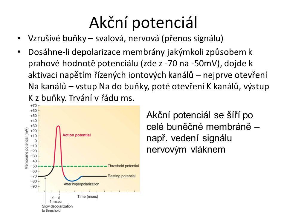 Akční potenciál Vzrušivé buňky – svalová, nervová (přenos signálu) Dosáhne-li depolarizace membrány jakýmkoli způsobem k prahové hodnotě potenciálu (z