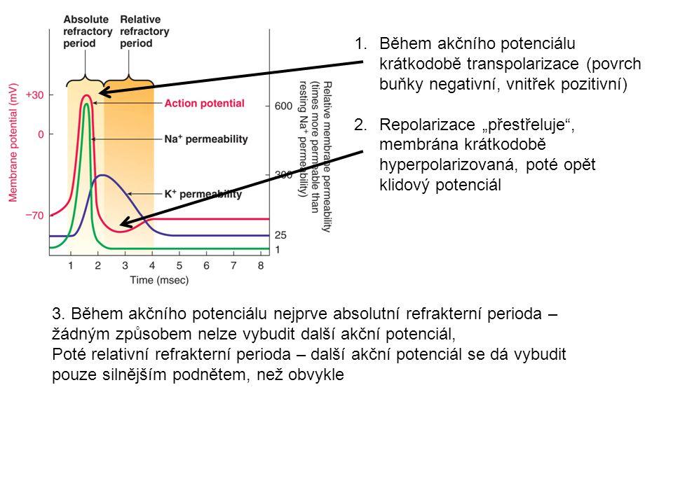 """1.Během akčního potenciálu krátkodobě transpolarizace (povrch buňky negativní, vnitřek pozitivní) 2.Repolarizace """"přestřeluje"""", membrána krátkodobě hy"""